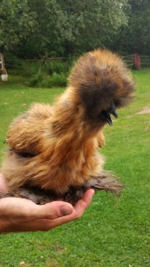 Have you ever seen a silky chicken before? THE CUTEST.