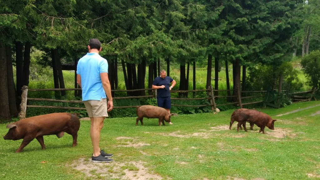 Pigs at Viamede Resort farm